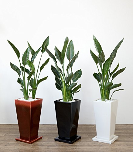 ストレリチア・レギネ 選べる3色・スクエア陶器(ワインレッド)