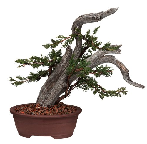 Buy Brussel's Phoenix Graft Outdoor Bonsai Tree, Small
