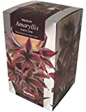Amaryllis Bulb - Exotic Star - Red and White Striped Flowers - Gift Pack