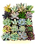 20 Gorgeous 2 Inch Succulents