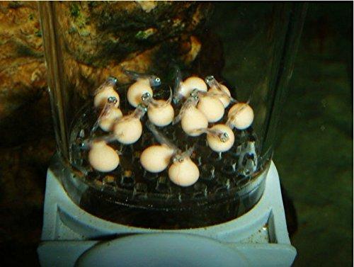 Cichlid Fish Eggs Cichlid Fish Breeding Egg