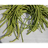 SEED Seller: Yard Long Bean Cowpea Vigna Unguiculata Seeds For Growing. Color: Green. GTK. Fast Growing, High...