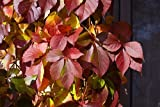 Red Wall TM Virginia Creeper - Parthenocissus - Proven Winner