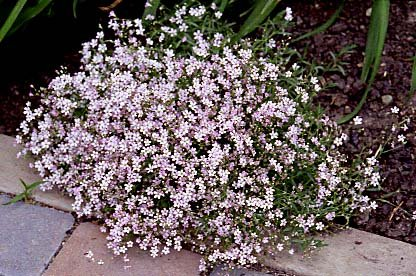 Buy 8 Pink Creeping Babies Breath Plants – Gypsophila-SALE*