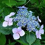 Hortensia Mariesi Perfecta (Hydrangea) - 1 arbrisseau