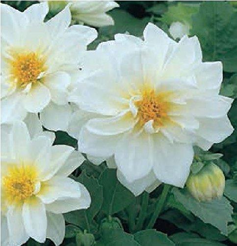 fiore-dalia-figaro-bianco-20-semi