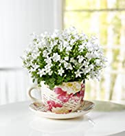 Campanula Tea Cup
