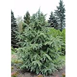 Deodar Cedar Cedrus deodara Evergreen Established Rooted 1 Gallon Trade Pot