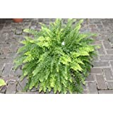 Indoor Plant - Nephrolepsis- Boston Fern -Bushy House Plant Approx 45cms Tall