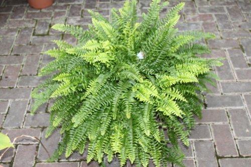 planta-de-interior-nephrolepis-helecho-de-boston-planta-frondosa-para-casa-aproximadamente-45-cm-de-