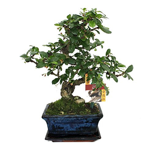 bonsai fukientee carmona microphylla ca 6 jahre betterthanrina. Black Bedroom Furniture Sets. Home Design Ideas