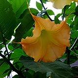Summer Sunrise Angel's Trumpet 15 Seeds - Brugmansia