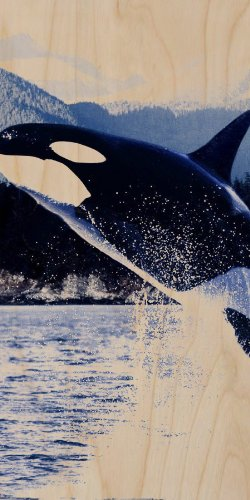 Orca Killer Whale Jumping From Water Mountain Background - Plywood Wood Print Poster Wall Art front-1080970