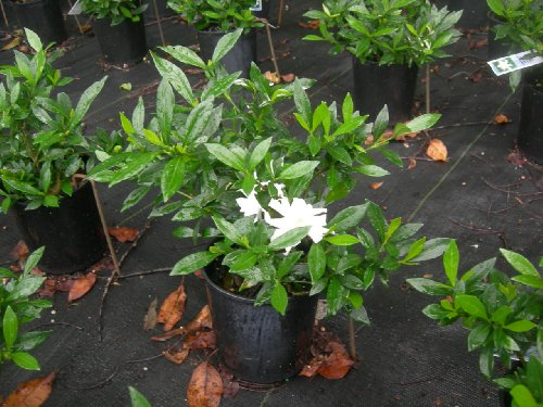 Radicans Dwarf Gardenia Shrubs (1 to 2 Year Plants) Very Full, Well Branched