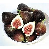 Celeste Fig Plant - Honey Fig/Blue Celeste Fig/Malta Fig/Sugar Fig/Violette Fig