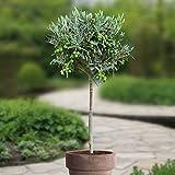 Olea Europaea/Olivier Méditerranéen - 1 arbre