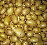 'Carola' Seed Potato - 6 Tubers