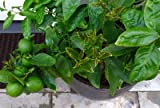 GRAFTED Mexican Key Lime Tree Perfect as Potted Citrus Patio Tree [GC008]