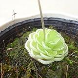 食虫植物:ムシトリスミレ・ピンギキュラ