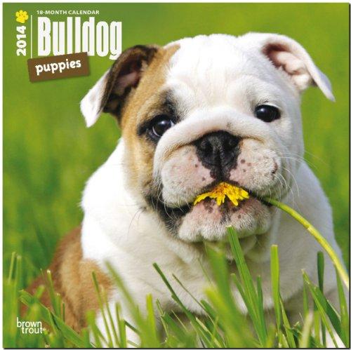 Bulldog Puppies Calendar (Multilingual Edition) (French Bulldog Puppies Calendar compare prices)