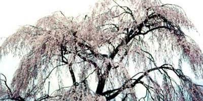 桜[サクラ・エドヒガン系]:平安枝垂れ(ヘイアンシダレ)接木苗4号ポット[早春の花木特集]