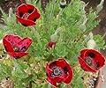 SeeKay Papaver Lady Bird Poppy Approx 1000 seeds