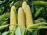 The Dirty Gardener Heirloom Organic Butter N Sugar Bi-Color Corn - 20+ Seeds