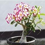2個/袋砂漠は、家庭菜園のための種子、アデニウムObesum種子ダブル花びら盆栽の花の種100%真正種子鉢植えローズ