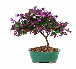 Brussel's DT8045FF Fringe Flower Bonsai