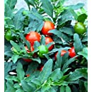 Hirt's Jerusalem Cherry Plant - Solanum - Great Holiday Gift - 4.5