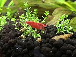 20 Red Cherry Sakura Shrimp 1/2\