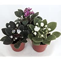 Miniature African Violet - 2