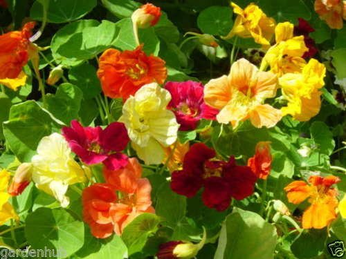 Nasturtium Dwarf Single Mixed Flower Seed - Pack Of 40 Seeds By Seedscare India