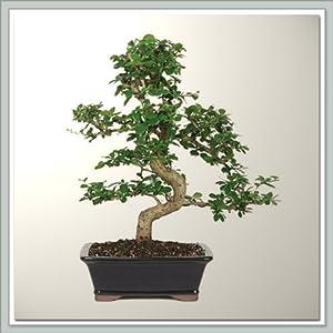 Joebonsai Nursery Direct Fukien Tea Bonsai Tree II (b-ft2)