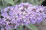 Buddleja 'Buzz Lavender' (Butterfly bush) 3 ltr pot