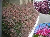 赤葉紅花トキワマンサク 生垣用 苗 庭木 低木