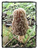 Rainbow Seeds GROW YOUR OWN FRESH MOREL MUSHROOMS ~ EASY GROW KIT ~