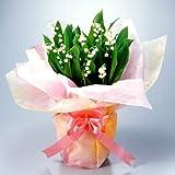 母の日限定 北海道すずらん12本鉢植え( 5号鉢)