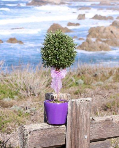 Live-Rosemary-Single-Ball-Topiary
