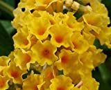 Honeycomb Butterfly Bush (Buddleia weyeriana) Live Herb Plant