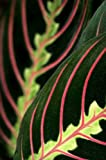Red Prayer Plant - Maranta - Easy to Grow House Plant