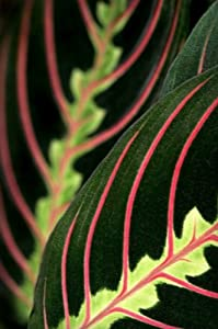 Red Prayer Plant - Maranta - Easy to Grow House Plant - 4