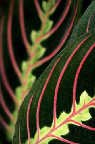 Red Prayer Plant Maranta Easy To Grow House Plant 4 Quot Pot
