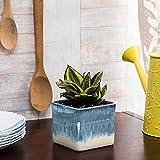 Exotic Green Indoor Oxygen Plant MILT in White & Blue Ceramic Pot