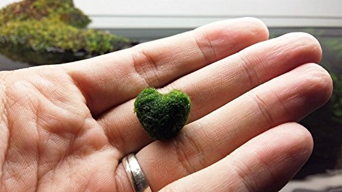 LUFFY Heart Marimo - A rare gift for your loved ones