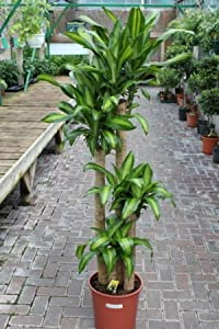 Indoor plant house or office plant dracaena massangeana corn plant 1 8m tall - Tall office plants ...
