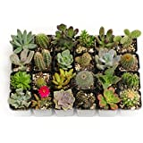 Awesome Collection of 20 Unique Cactus and Succulents No Two Alike