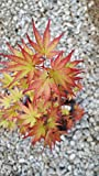 (liner)Sango-kaku Japanese Maple-brilliant Red Bark(coral Bark)the bark on new twigs turn bright red, Year round beauty with spectacular range of leaf colors- A Real Beauty, (Hydrangeas Shrub, Evergreens, Gardenia
