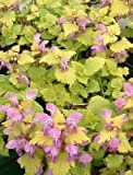 Lamium Cannon Gold plant in 9cm pot. Coloured foliage, hardy perennial