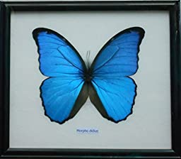 Framed Real BIG Blue MORPHO DIDIUS Butterfly Display Insect Collectible Taxidermy